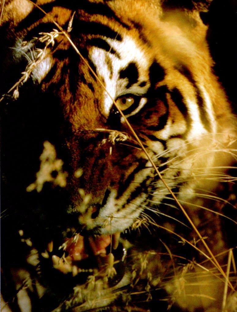 WC-03.tiger4.jpg