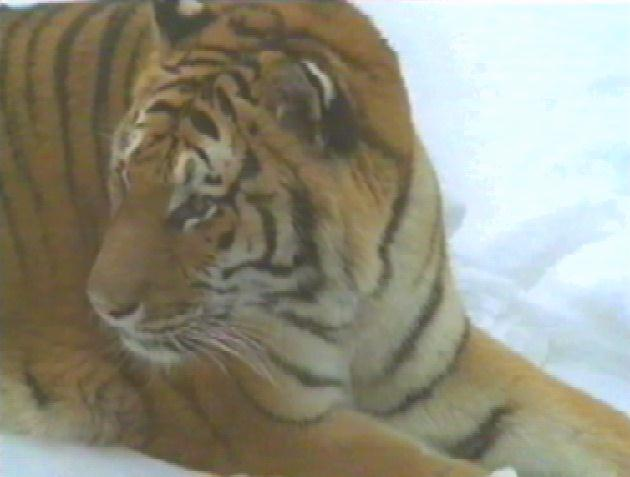 Siberian Tiger (Panthera tigris altaica)<!--시베리아호랑이--> resting on snow; Image ONLY
