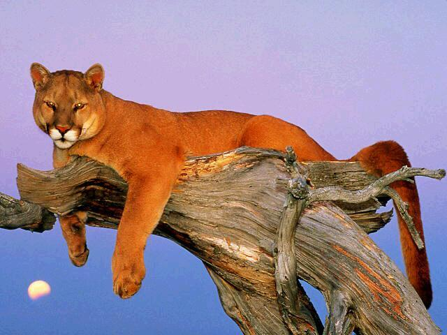 Cougar (Puma concolor)<!--퓨마/쿠거--> resting on tree; Image ONLY
