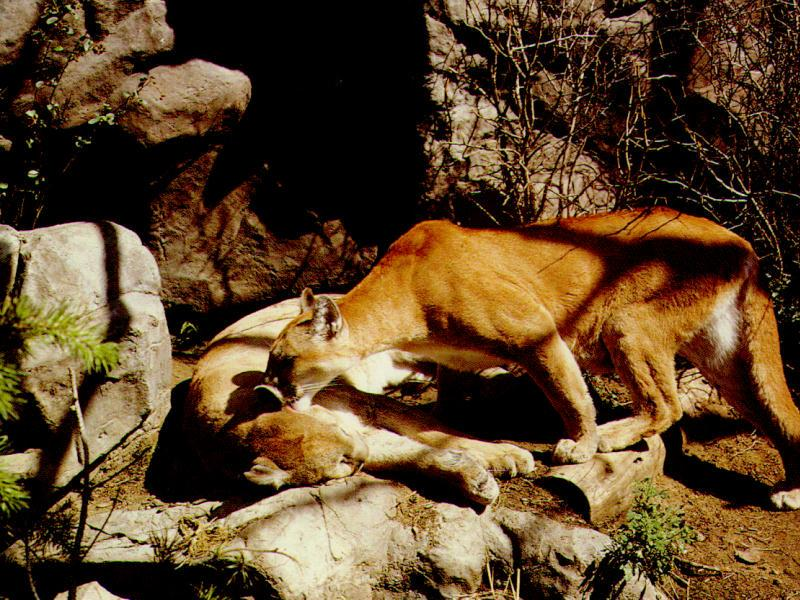 Cougar (Puma concolor)<!--퓨마/쿠거--> pair of cougars; Image ONLY