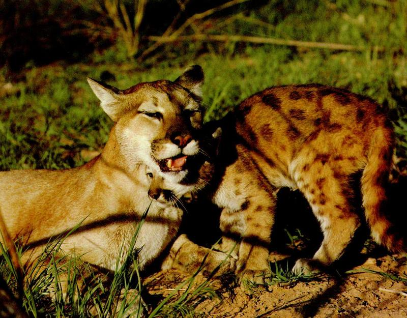 Cougar (Puma concolor){!--퓨마/쿠거--> mother and cub; DISPLAY FULL IMAGE.