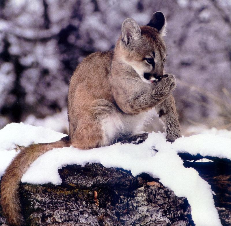 Denver News Mountain Lion: Cougar (Puma Concolor){!--퓨마/쿠거--> Juvenile On Snow