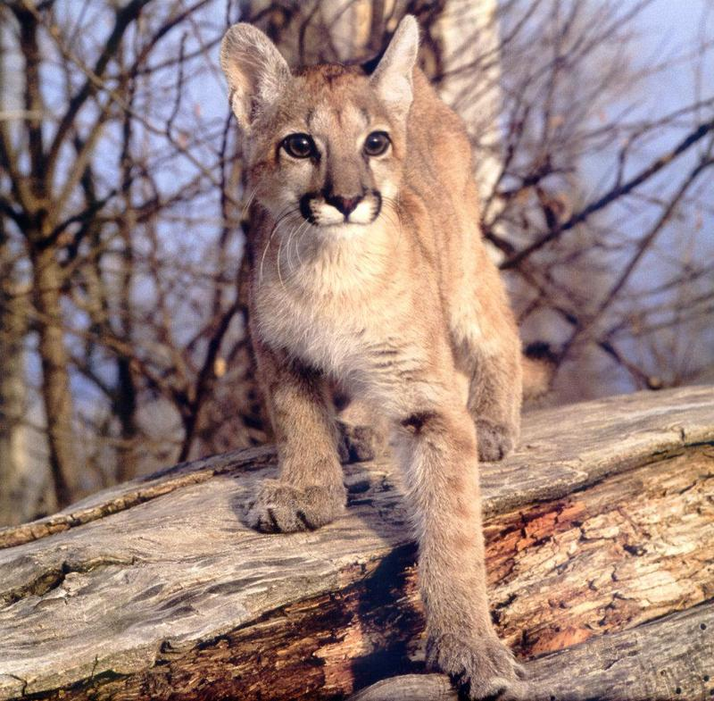 Denver News Mountain Lion: Cougar (Puma Concolor){!--퓨마/쿠거--> Juvenile On Log