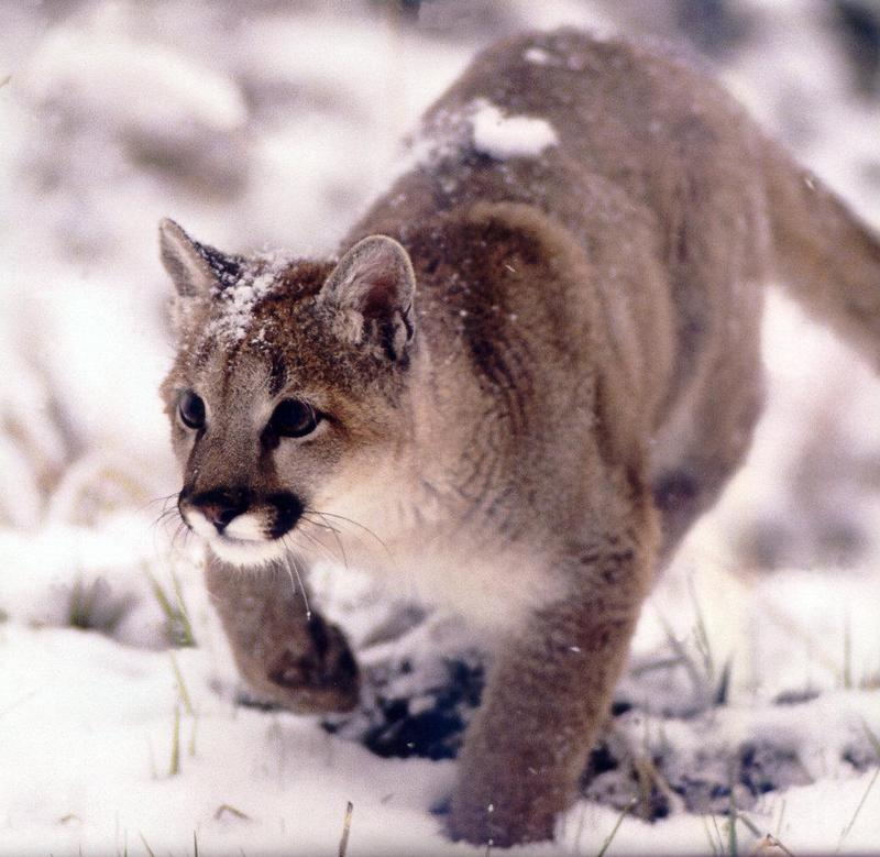 Cougar (Puma concolor){!--퓨마/쿠거--> stalking in snow; DISPLAY FULL IMAGE.