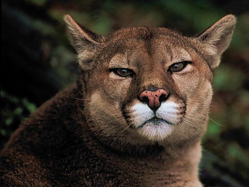 Cougar (Puma concolor)<!--퓨마/쿠거--> head; Image ONLY