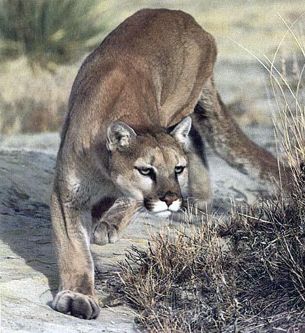Cougar (Puma concolor)<!--퓨마/쿠거-->; Image ONLY