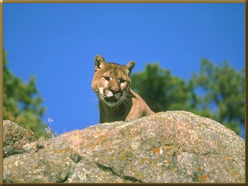 Cougar (Puma concolor)<!--퓨마/쿠거--> head on rock; Image ONLY
