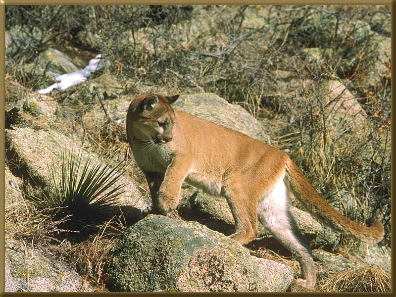 Cougar (Puma concolor)<!--퓨마/쿠거--> on slope; Image ONLY