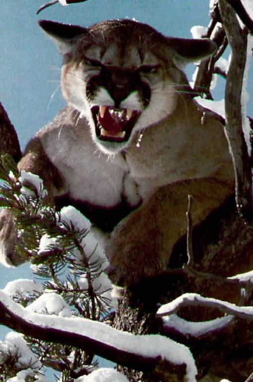 Cougar (Puma concolor)<!--퓨마/쿠거--> snarling on tree; Image ONLY