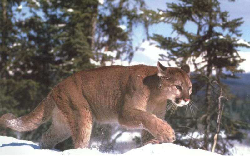 Cougar (Puma concolor)<!--퓨마/쿠거--> stalking pace on snow; Image ONLY