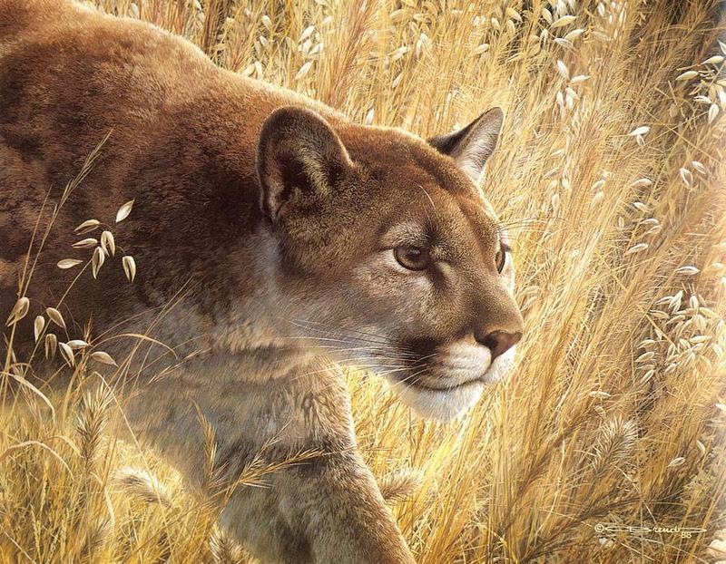 9aba5e10731b3  Animal Art  Cougar (Puma concolor) !--퓨마 쿠거--