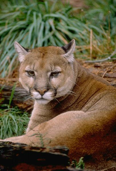Cougar (Puma concolor)<!--퓨마/쿠거--> face; Image ONLY