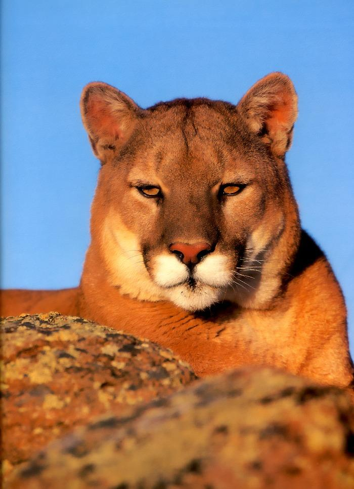 Cougar (Puma concolor){!--퓨마/쿠거--> head on rock; Image ONLY