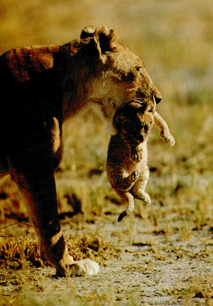 African lion (Panthera leo) <!--아프리카사자--> mother carrying cub in mouth; Image ONLY