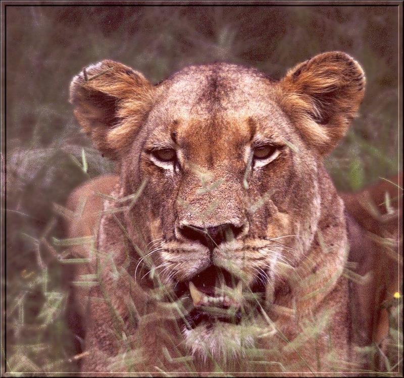 African lion (Panthera leo) {!--아프리카사자, 암사자--> : lioness ...