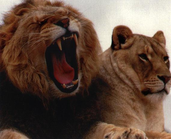 African lion (Panthera leo) <!--아프리카사자--> sweet pair; Image ONLY