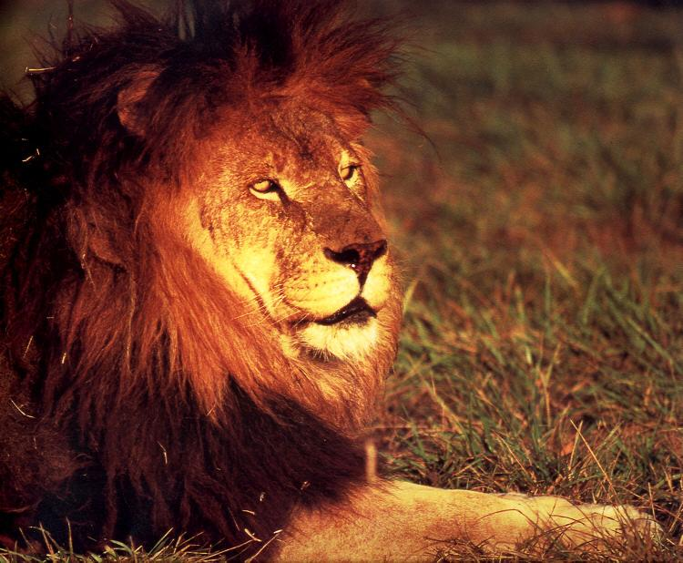 African lion (Panthera leo) <!--아프리카사자--> male; Image ONLY