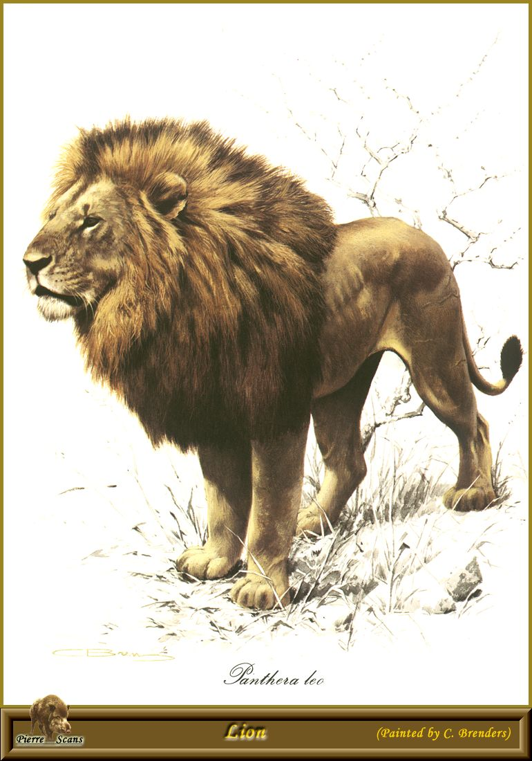 [Animal Art] African lion (Panthera leo) <!--아프리카사자--> male by Carl Brenders; Image ONLY