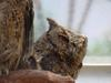 Collared Scops Owl (큰소쩍새)