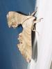 Sphinx Moth --> 등줄박각시 Marumba sperchius
