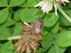 Shield bug -- 알락수염노린재 Dolycoris baccarum (Sloe Bug)