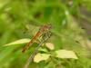 Common Darter (Dragonfly)