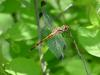 Dragonfly (Sympetrum infuscatum)