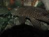 Tropical fishes (suckerfish) -- Suckermouth Catfish (Hypostomus plecostomus)