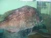 Red sea bream snapper