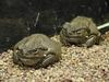 Colorado River Toads