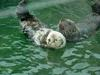 Sea otters (Enhydra lutris) [해달]