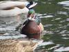 Woodduck (male)