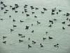 Flock of common goldeneyes and surf scoters