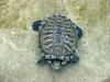 Red-eared Pond Slider