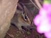 다람쥐 Tamias sibiricus asiaticus (Korean Chipmunk)