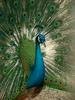 Indian Peacock - Blue peafowl (Pavo cristatus) - 인도공작(印度孔雀)