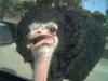 Ostrich at Tel Aviv Zoological Center By: Shai Bohr, Israel