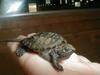 a widdle baby Snapping Turtle.