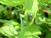 Eurasian Greenbottle (Blowfly)