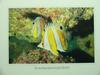 Brown-banded Butterflyfish (Chaetodon modestus)