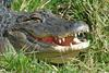 mics critters - gator (Alligator mississippiensis) - American Alligator.jpg