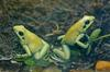 Misc critters - Golden Poison Frog (Phyllobates terribilis)