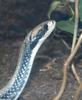 Some Critters - False Water Cobra (Hydrodynastes gigas)