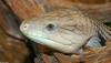 Some Critters - blue tongue skink.jpg (1/1)