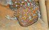 Some Critters - tokay gecko.jpg