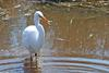 Swamp Bird - Great Egret (Ardea alba egretta)2001
