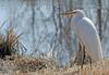 Swamp Bird - Great Egret (Ardea alba egretta)1003