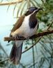 Birds and Crocs - Blue-faced Honeyeater (Entomyzon cyanotis)3007
