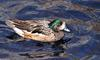 Birds and Crocs - Chiloe Wigeon (Anas sibilatrix)2