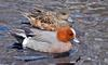 Birds and Crocs - Eurasian Wigeon (Anas penelope)